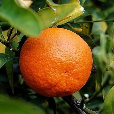 2-3 Year Old Dancy Tangerine Tree in Grower's Pot : Garden & Outdoor