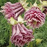 50pcs Wholesale 100% authentic PETTICOAT COLUMBINE AQUILEGIA seeds flower seeds rare plants, Bonsai organic seeds