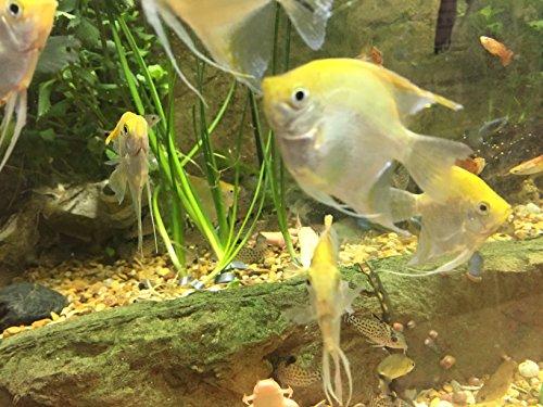 - WorldwideTropicals Live Freshwater Aquarium Fish - Half-Dollar Sized Gold Angel Fish - MEDIUM GOLDEN ANGEL FISH - by Live Tropical Fish - Great For Aquariums - Populate Your Fish Tank!