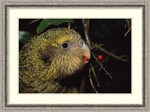 Framed Art Print 'Kakapo feeding on Supplejack berries, Codfish Island, New Zealand' by Tui De ()