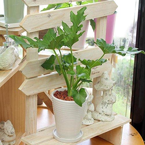 フィロデンドロン セローム(セロウム) 陶器鉢(鉢皿付)