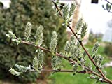 1 Starter Plant of Salix Arenaria - Silver Willow