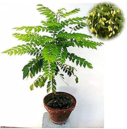 50 NEEM TREE DRIED SEEDS AZADIRACHTA INDICA LILAC HERB PLANT MIRACLE INDIA