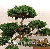 New Potted Rare Japan Podocarpus macrophyllus 20+ Seeds