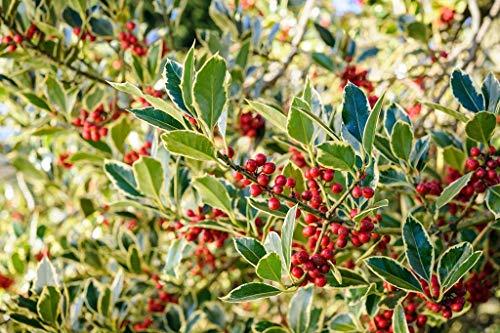 (Casavidas Seeds Package: Ilex Argentea Marginata (Agm) Variegated Holly Evergreen Winter Berries Bareroot)