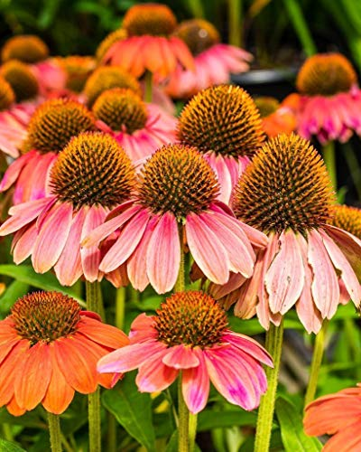 Pink Echinacea flowers. Fine Art Flower Photography Print for Home Decor Wall Art ()