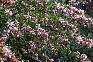 3 X Abelia Chinensis Sent In 9cm Pots Amazoncouk Garden Outdoors