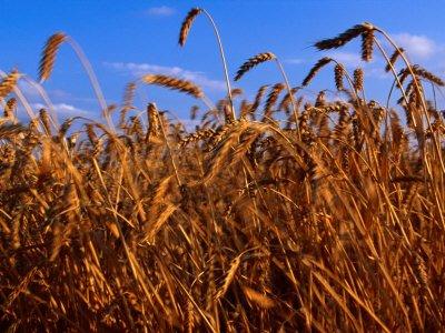 HeirloomSupplySuccess 1000 Heirloom Hard White Wheat Seeds
