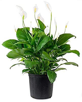 "Spathiphyllum ""Peace Lily"" 100 Seeds - Best Indoor Air Purification Houseplant For Home & Office"