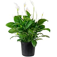 "Glamaours Spathiphyllum""Peace Lily"" 100 Seeds - Best Indoor Air Purification Houseplant for Home & Office"