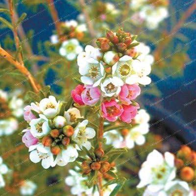 ChinaMarket Geraldton Semillas de cera flor rara plantas bonsai casa jardín muy bonito jardín de flores perennes Semillas Flores 50 PC: Amazon.es: Jardín