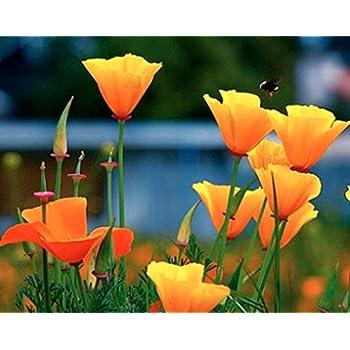 Amazon california poppy seeds 8 000 seeds state flower california poppy seeds 8000 seeds state flower golden orange poppy re seeds mightylinksfo