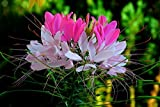 Rare Hot Pink / White Spider Flower (Cleome) 25 Seeds! Comb.s/h