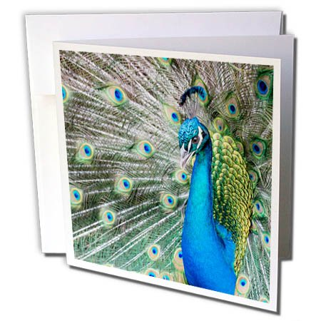 3dRose Danita Delimont - Birds - Male Peacock displaying his tail feathers, South Carolina - 12 Greeting Cards with envelopes (gc_279407_2) (Displaying Peacock Feathers)