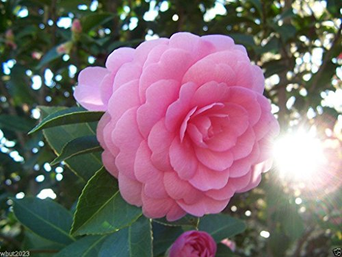 5-seeds-rose-of-winter-japanese-camelia-seeds-ideal-for-bonsai-alabama-state-flower