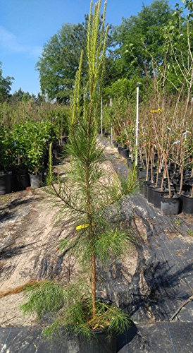 Loblolly Pine Tree - 2 Year Old Tree - Loblolly Pine Trees