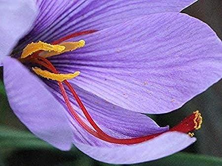 circunferencia 10 // cm 20 azafr/án Bulbos de Crocus sativus