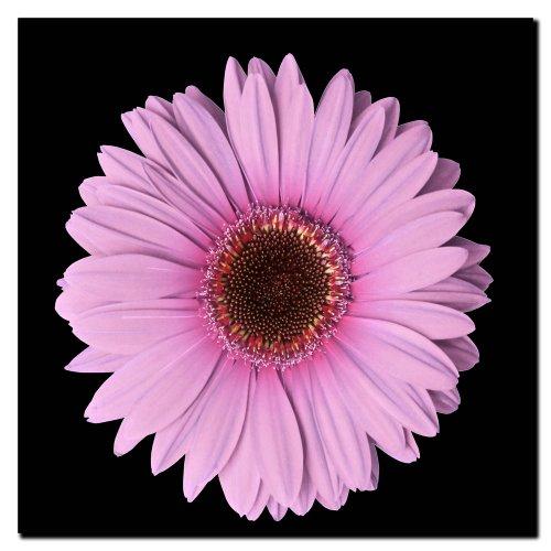 Pink Gerber Daisy, 14x14-Inch Canvas Wall Art