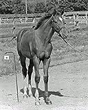 Secretariat / Baby BIG RED - Belmont Stakes Winner 8 x 10 Photo Image #2