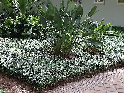 Asiatic Jasmine Minima - 40 Live Plants 2'' Pot Size - Trachelospermum Asiaticum - Drought Tolerant Cold Hardy Evergreen Ground Cover by Florida Foliage (Image #8)