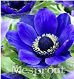New 12 Different Colors Japanese Anemone Flower 50+ Seeds - 5