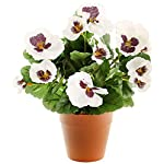 MARJON-FlowersWhite-Pansy-Plug-Plant-Pot-Not-Included