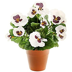 MARJON FlowersWhite Pansy Plug Plant - Pot Not Included 71