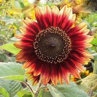 Pinkdose 50 Pezzi/Borsa Girasole Bonsai 11 Tipi Sun Fortune Bloom Garden Piante in Vaso Jardin Blooming Flowers Facile da Coltivare Spedizione Gratuita: 1