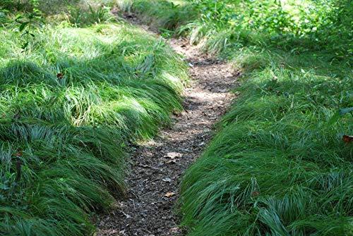 Perennial Farm Marketplace Carex pensylvanica ((Pennsylvania Sedge) Ornamental Grass, 1 Quart, Bright Green Foliage ()