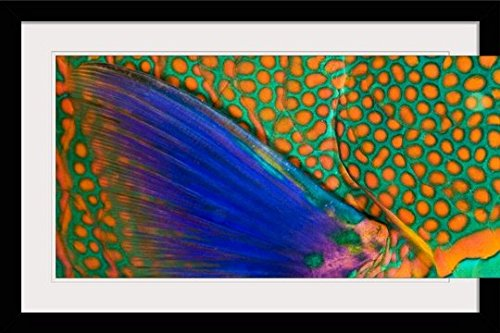 GreatBIGCanvas ''Indonesia, Komodo, Close-Up of Parrotfish Scales and Pectoral Fin'' by Dave Fleetham Photographic Print with Black Frame, 36'' x 24'' by greatBIGcanvas