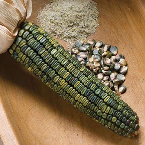- David's Garden Seeds Corn Dent Oaxacan SL0703 (Green) 50 Non-GMO, Heirloom Seeds