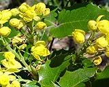 50 Oregon Grape Holly Seeds, Mahonia Aquifolium