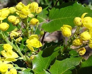Amazon 50 Oregon Grape Holly Seeds Mahonia Aquifolium