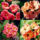 Go Garden 300Pcs Crown of Thorns Seeds Euphorbia Milii Hybrid Mix Middle Seed Big Flowers