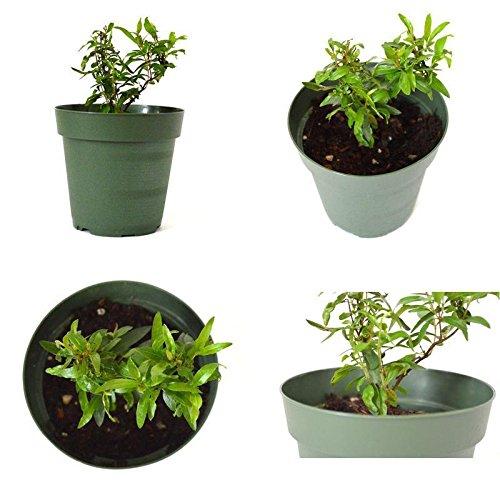 Pomegranate Tree Sweet Plant - 4'' Pot Garden Home Fruit Best Gift Outdoor New