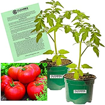Amazon.com: Clovers Garden Super Sweet 100 Tomato Plant