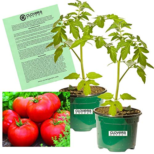 - Clovers Garden Big Boy Tomato Plant - Two (2) Live Plants - Not Seeds - Each 5