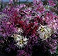 Hazzard's Seeds Dianthus Rainbow Loveliness 500 seeds