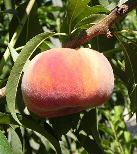 Sugar Tiger Freestone Peach Tree Shipped in Soil, Five Gallon Container