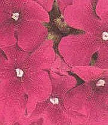 Carmine Rose - Verbena Quartz Carmine Rose Annual Seed