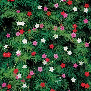 Outsidepride Cypress Vine Mix - 100 Seeds (Vine Hummingbird)