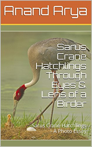 (Sarus Crane Hatchlings Through Eyes & Lens of a Birder: Sarus Crane Hatchlings - A Photo)