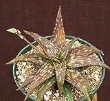 Aloe Jucunda Rare Succulent Plant Cacti Cactus 4