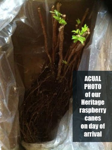 4 Heritage Red Raspberry Plants, bare-root LARGE 2-year 18-24'' trimmed canes