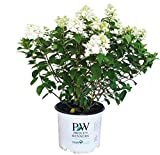 Proven Winners - Hydrangea pan. Fire Light (Panicle Hydrangea) Shrub, white & red flowers, #3 - Size Container