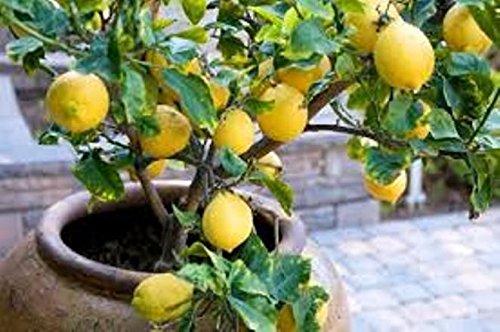 15-citrus-limon-tree-seeds-ponderosa-dwarf-lemon-fruitful-container-citrus-tree