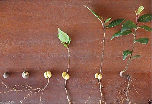 5 Seeds Bay Leaf Plant A.k.a Sweet Bay, Bay Laurel, True Laurell, Laurus Nobilis - Sweet Bay