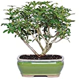Brussel's Bonsai Live Hawaiian Umbrella Indoor Bonsai Tree - 3 Years Old; 7'' to 10'' Tall with Decorative Container
