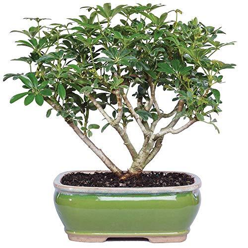 - Brussel's Bonsai Live Hawaiian Umbrella Indoor Bonsai Tree - 3 Years Old; 7