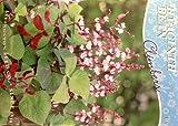 Hyacinth Bean Seeds - 8 grams - Dolichos lablab